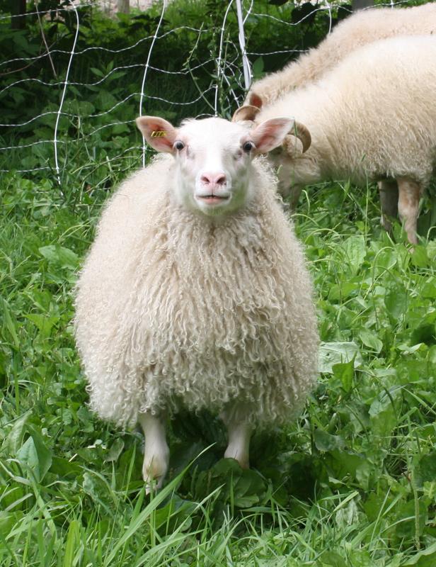 Tube Feeding Lambs