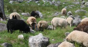 Frelsi Farm Icelandics