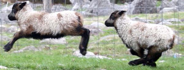 Lambing Supplies–The List