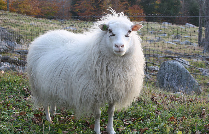 Icelandic Sheep and Icelandic Sheepdogs